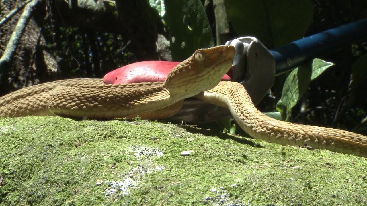 Ilha das cobras, a 2ª maior concentração de cobras do planeta fica no Brasil
