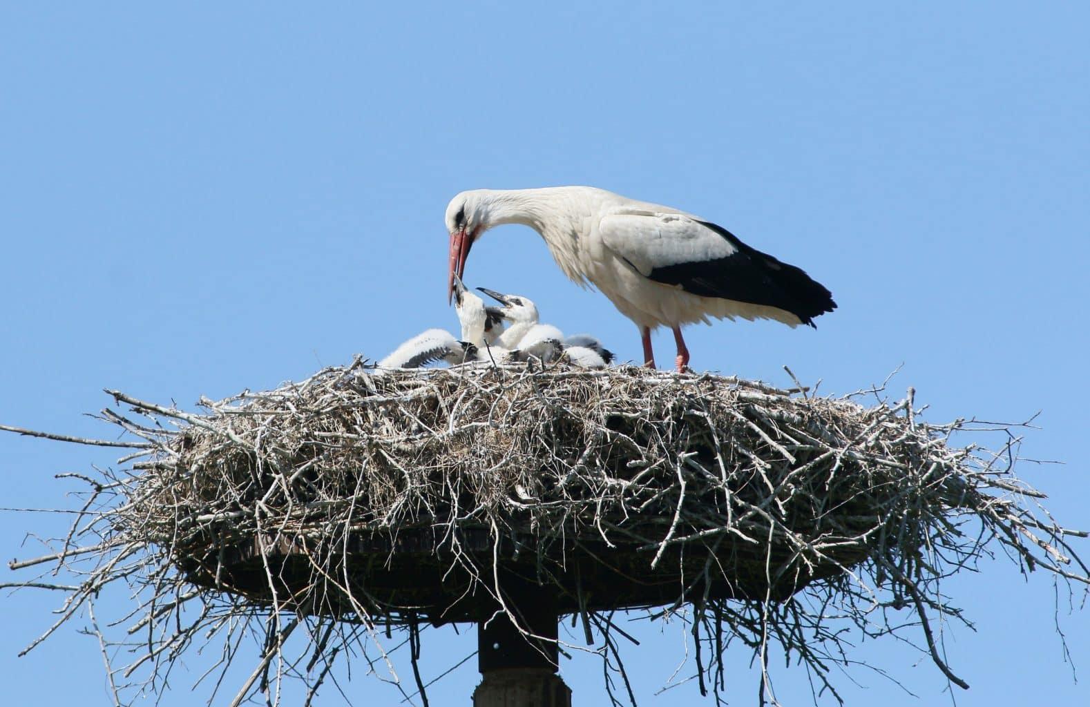 Como surgiu a lenda de que as cegonhas trazem os bebês?