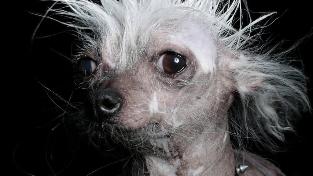 Conheça o cachorro mais feio do mundo e seus concorrentes