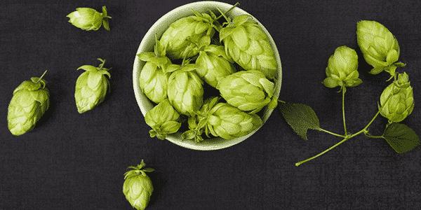 O que é o lúpulo, qual a sua função na cerveja e algumas curiosidades