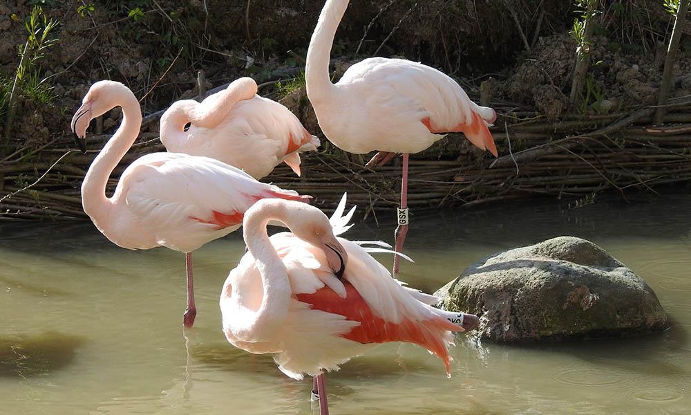 4 coisas que você precisa saber agora mesmo sobre os flamingos