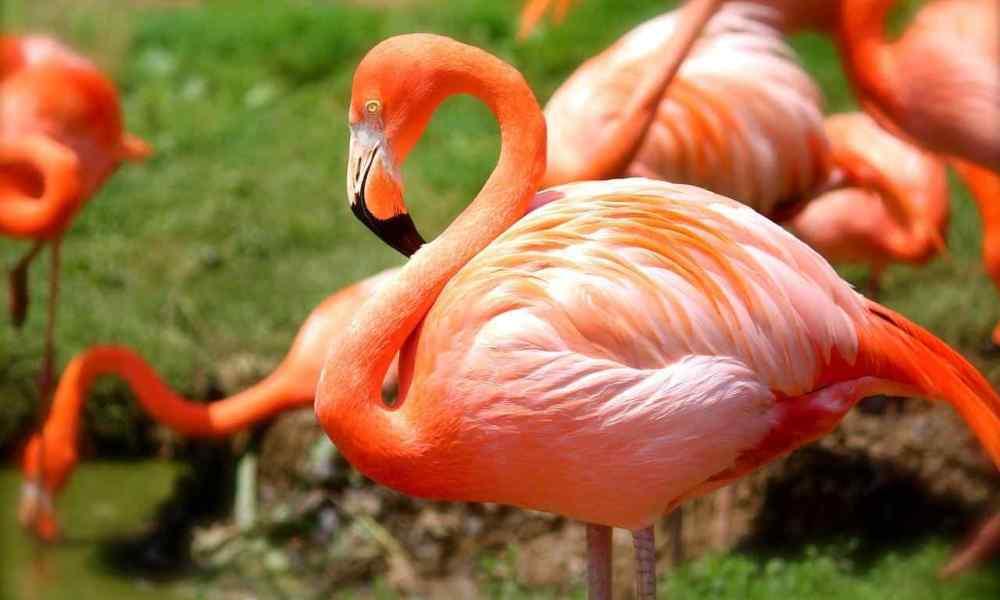 Flamingos - 4 fatos curiosos e pouco conhecidos sobre eles