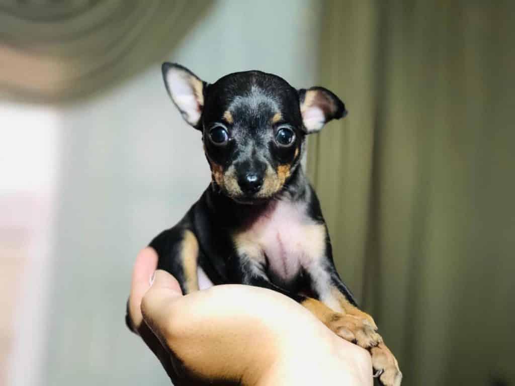 Raças de cachorro pequeno – 20 que não crescem quase nada