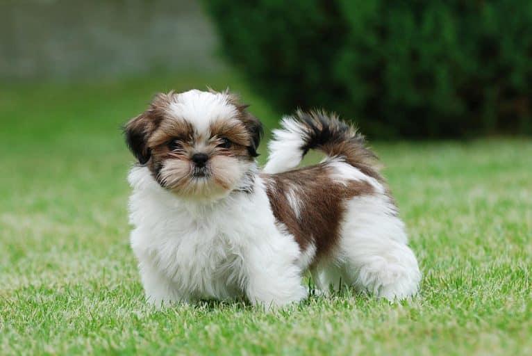 Conheça 20 raças de cachorro pequeno e escolha qual o seu favorito