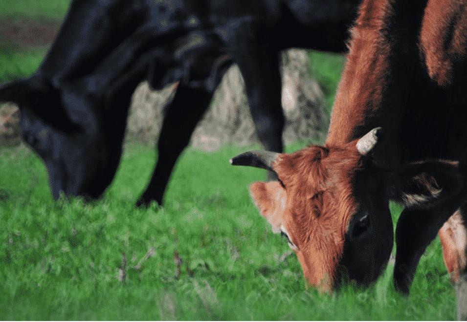 Já ouviu falar sobre a doença da vaca louca? Confira agora