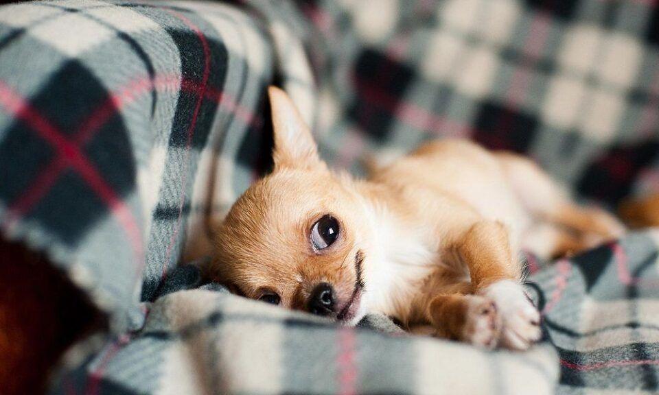 Raças de cachorro pequeno, que não crescem quase nada
