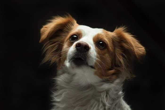 Raças de cachorro pequeno - 20 que não crescem quase nada
