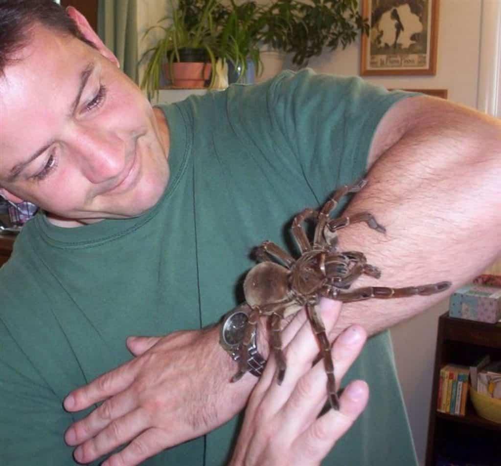 Aranha-golias, a aranha gigante, capaz de devorar pássaros inteiros!