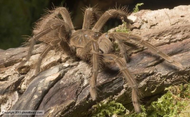 Conheça agora a aranha-golias, a comedora de pássaros