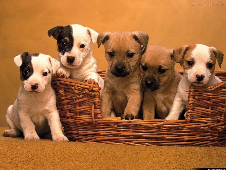 Descubra agora 5 cuidados que se deve ter com os filhotes de cachorro