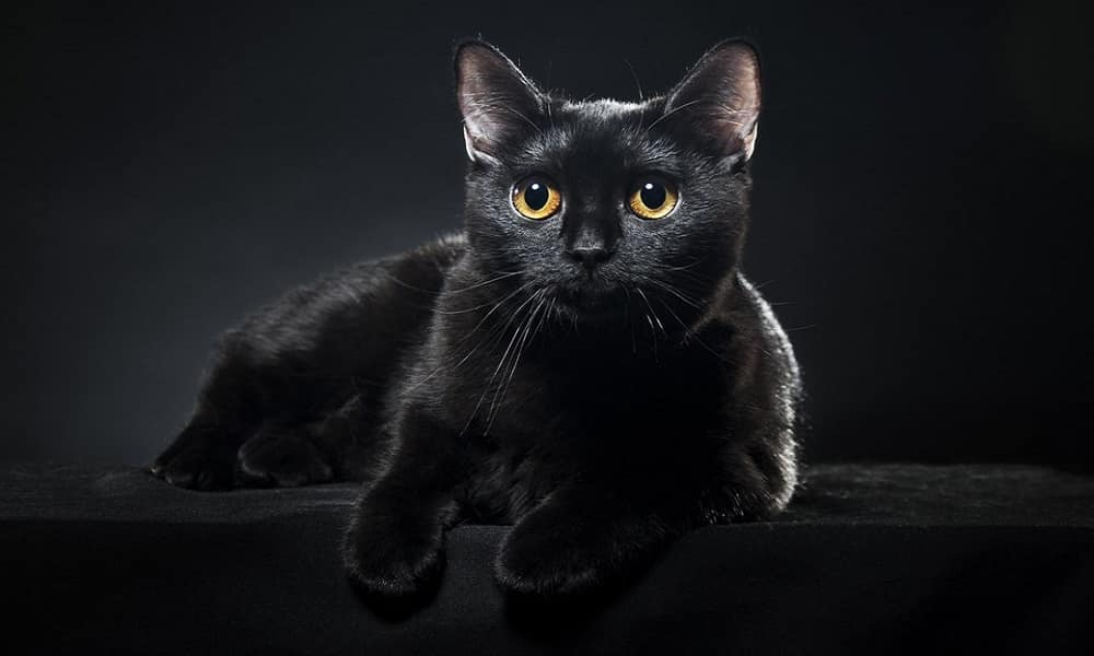 Gato preto é um sinônimo de azar? - Origem e por quê da lenda