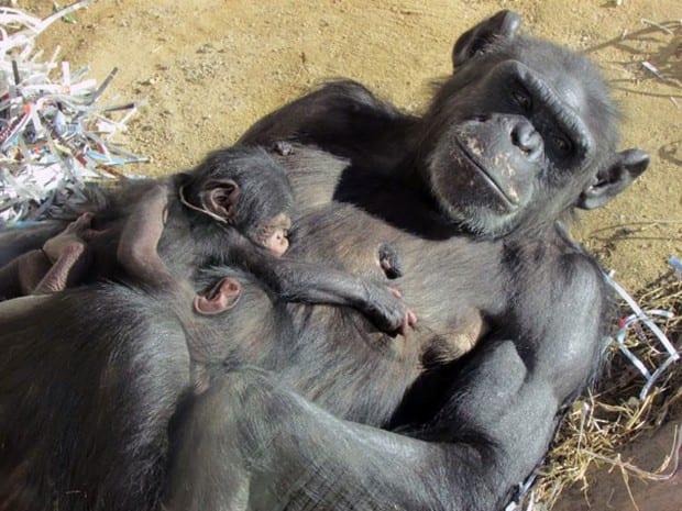 Chimpanzés também amam, têm tradições e sexo não só para reprodução