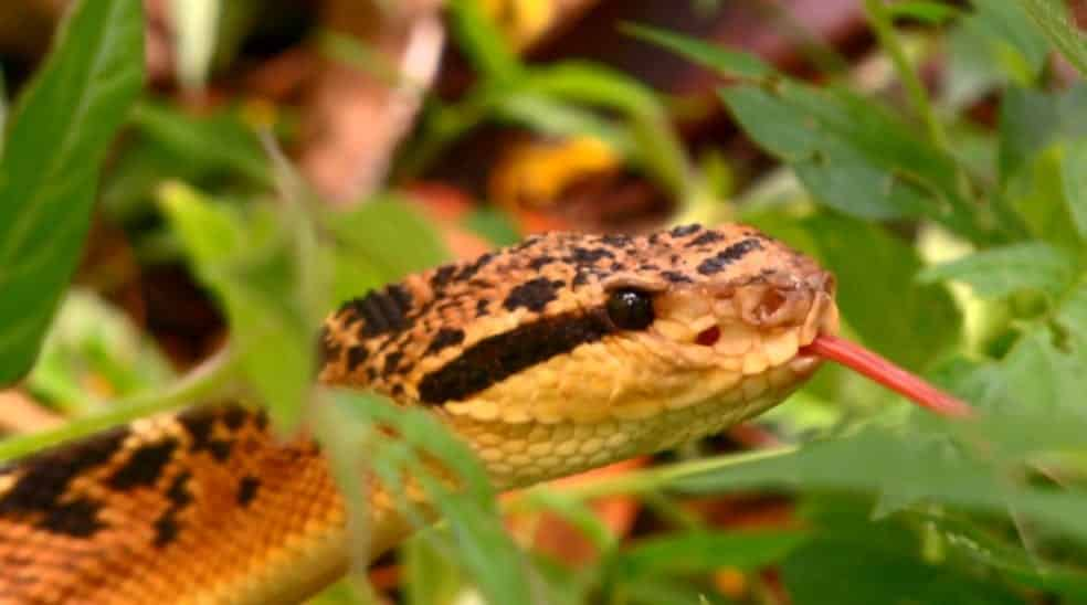 Cobra, tudo o que você precisa saber sobre o odiado animal