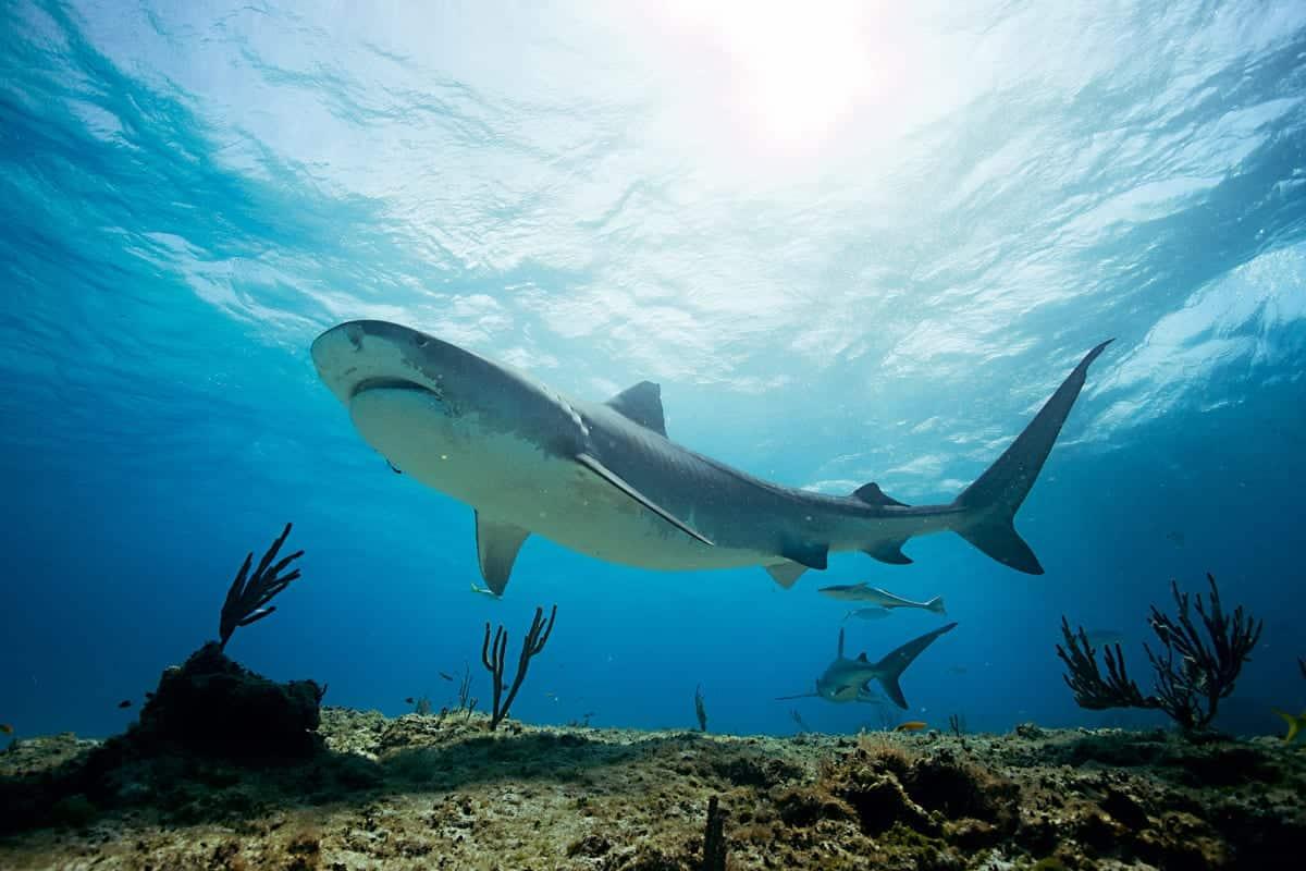 Conheça agora cação ou tubarão, o famoso rei dos mares