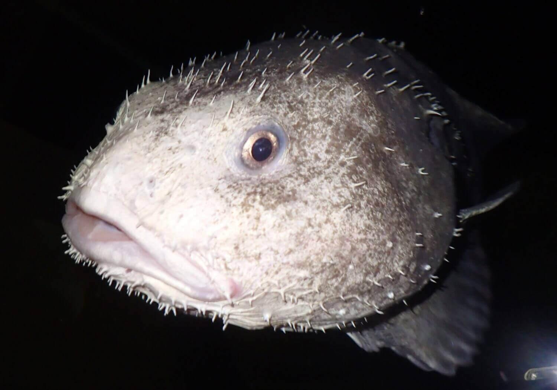 Conheça agora tudo sobre o animal mais feio do mundo, o peixe-bolha