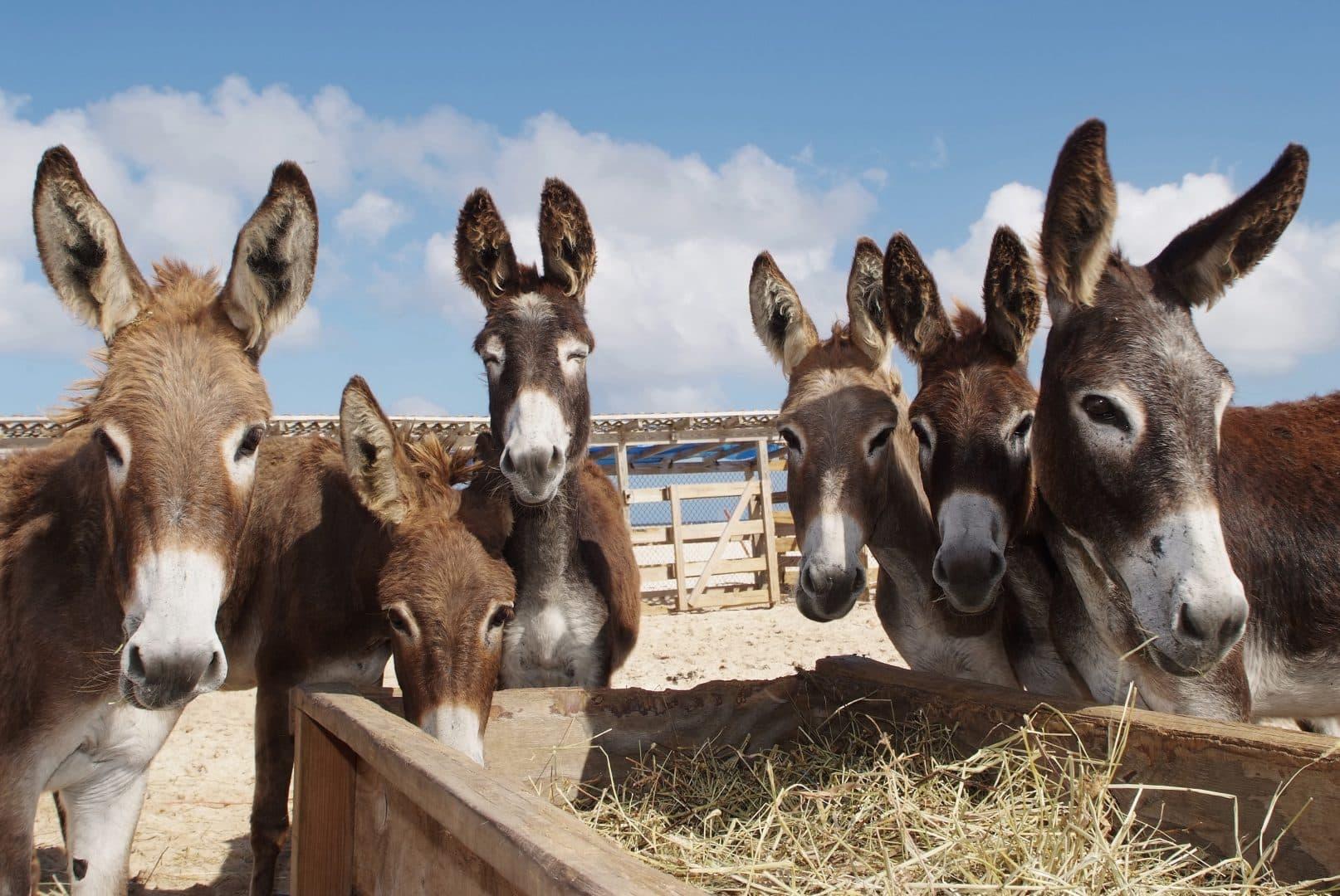 Jumento, jegue, burro, mula e bardoto - Qual a diferença entre eles?