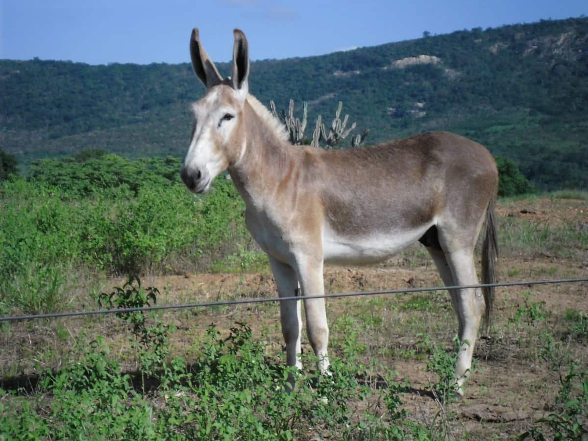 Descubra a diferença entre jumento, jegue, burro, mula e bardoto