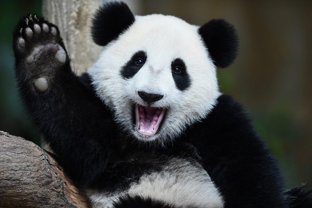 Urso panda – Características, comportamento, reprodução e curiosidades