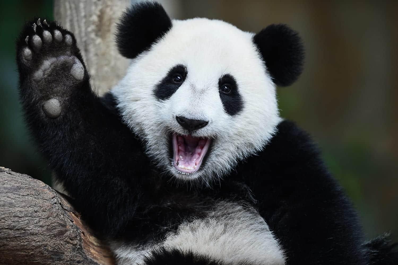 Urso panda - Características, comportamento, reprodução e curiosidades