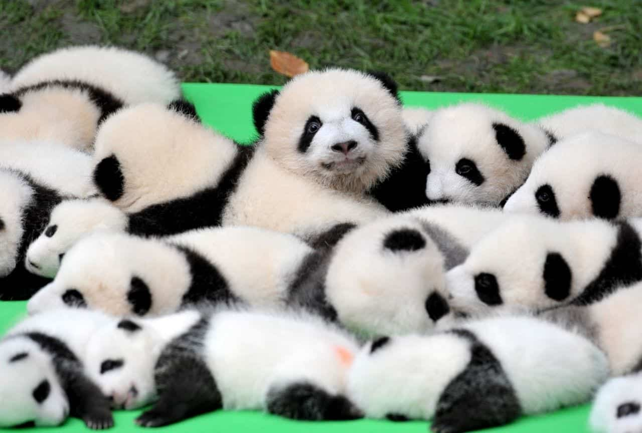 Urso panda- Habitat natural, reprodução e mais curiosidades