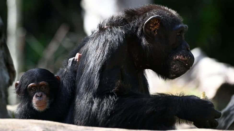 Você sabia que os chimpanzés também amam? Confira mais detalhes