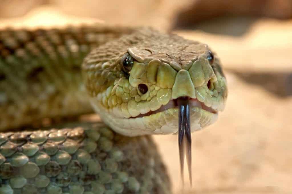 Cobra – Características, como saber se é venenosa + curiosidades