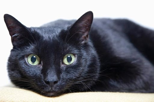 Gato preto: 13 curiosidades intrigantes que vão fazer você querer ter um