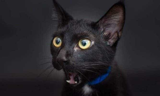 Gato preto - 13 curiosidades que provavelmente você não conhece