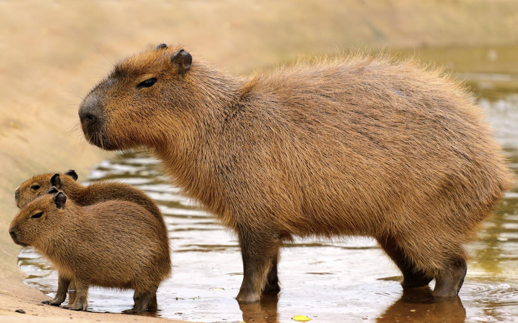 Capivara- Características, habitat, reprodução e curiosidades