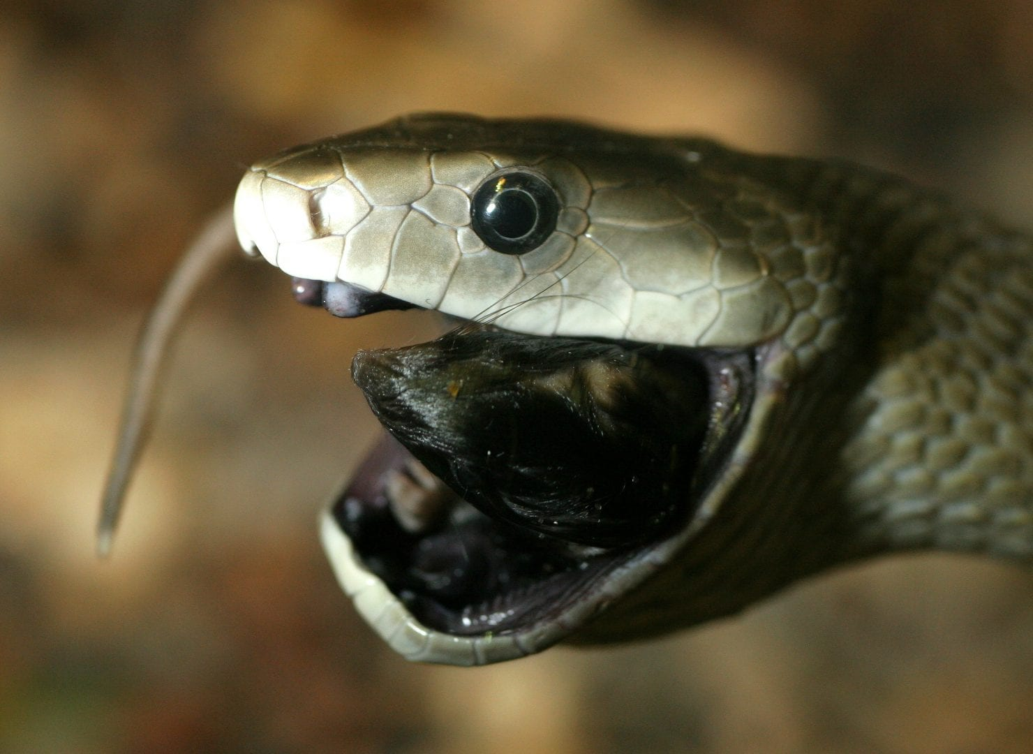 Mamba-negra, uma das serpentes mais mortíferas do mundo