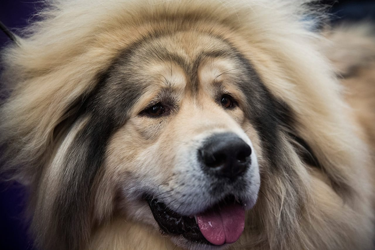Mastim tibetano - Conheça o cachorro da alta classe