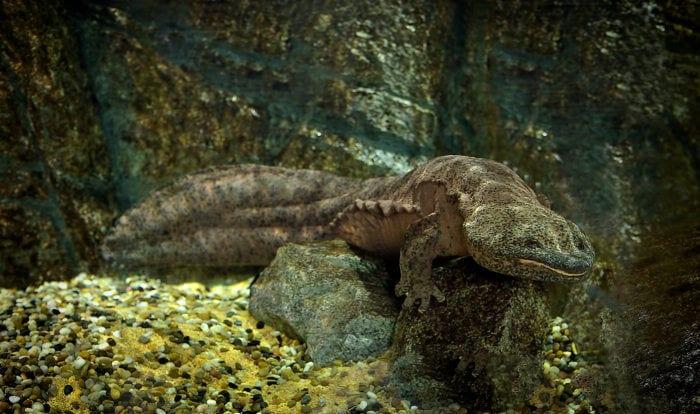 Salamandra- Características, tipos de espécies e curiosidades