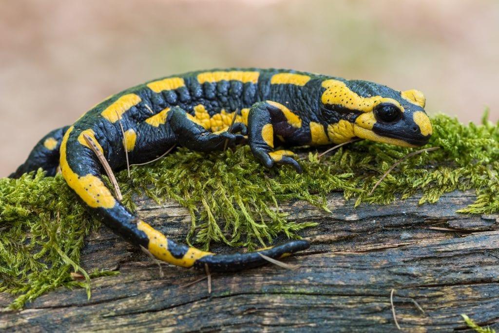 Salamandra – Características, tipos de espécies e curiosidades