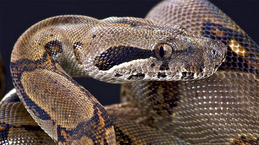 Jiboia - tudo o que você precisa aprender sobre a serpente