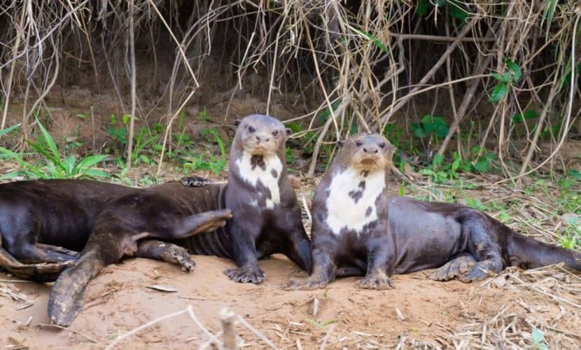 Lontra - características, como se reproduz e onde vive