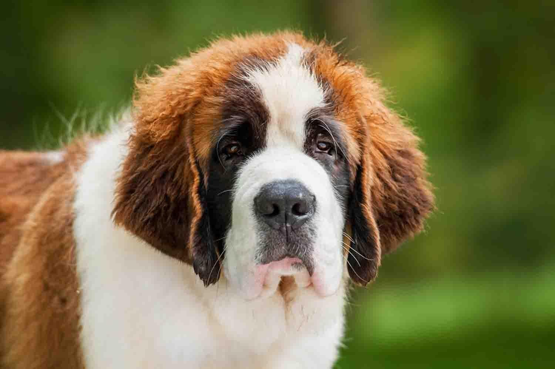 Maior raça de cachorro do mundo- Quais são, pontos positivos e negativos