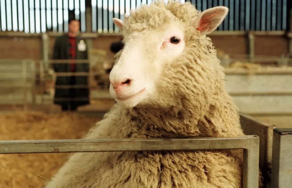 Ovelha Dolly – Como aconteceu a clonagem mais famosa no mundo?