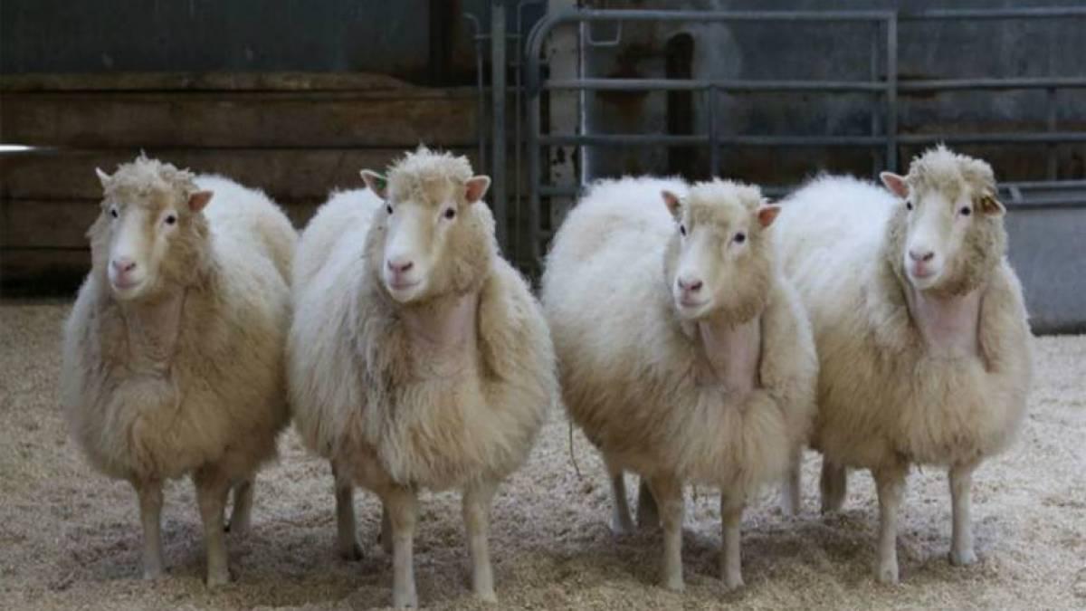 Ovelha Dolly - Conheça o caso mais famoso de clonagem no mundo