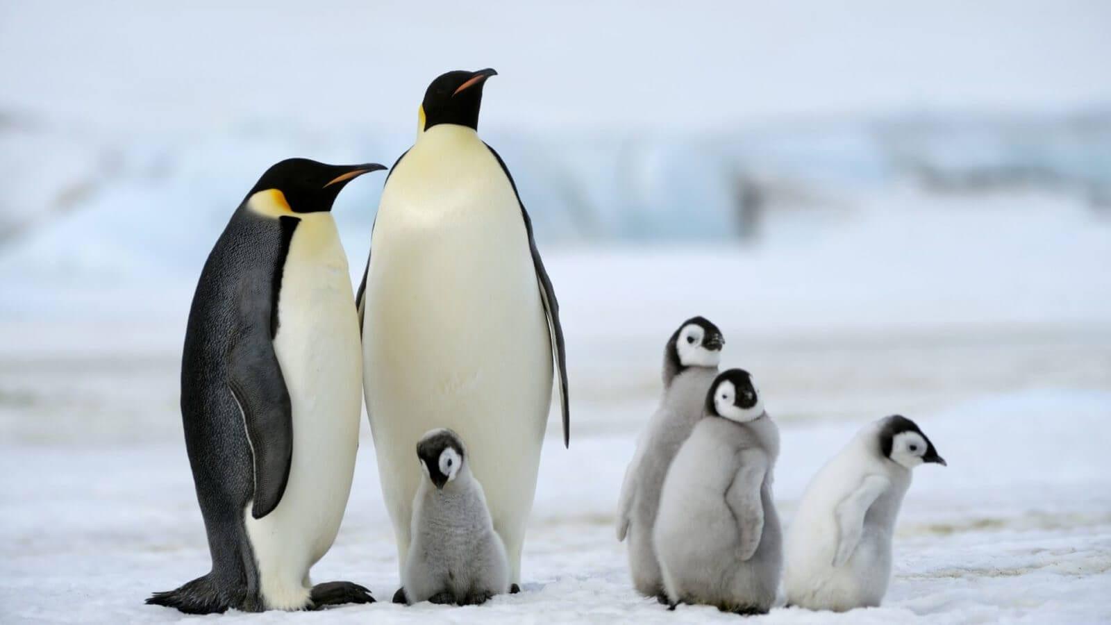 Pinguim - Caractéristicas, alimentação, reprodução e espécies principais