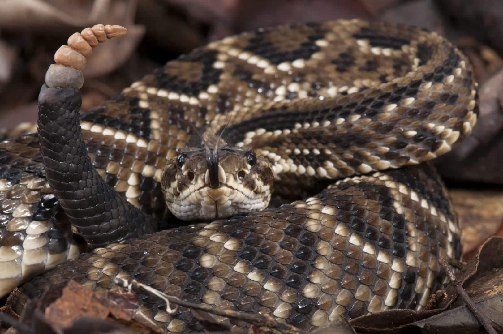 Afinal, qual é a cobra mais venenosa do mundo? E do Brasil?