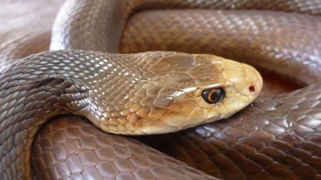 Cobra mais venenosa do mundo, qual é? Qual a potência de seu veneno?