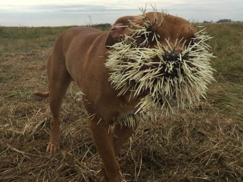 Porco-espinho, o que você precisa fazer se for atacado pelo animal