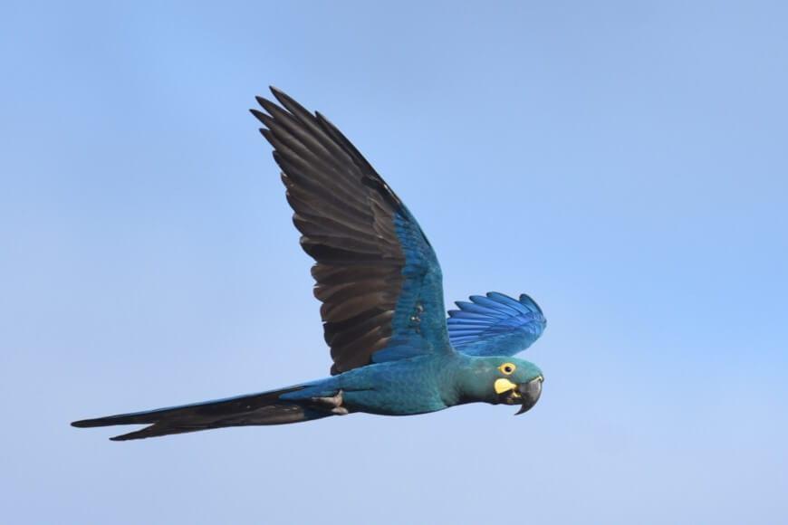 Arara-azul - Caraterísticas, comportamento, extinção e espécies parecidas