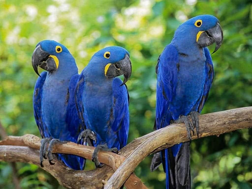 Arara-azul – Caraterísticas, comportamento, extinção e espécies parecidas