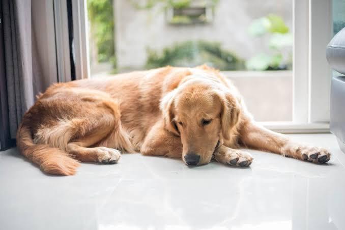 Cachorro vomitando - Causas, sintomas e tratamento