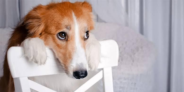 Cachorro vomitando- o que fazer quando isso acontece?