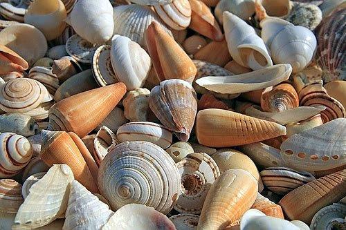 Concha, o que? Características, formação e tipos de concha do mar