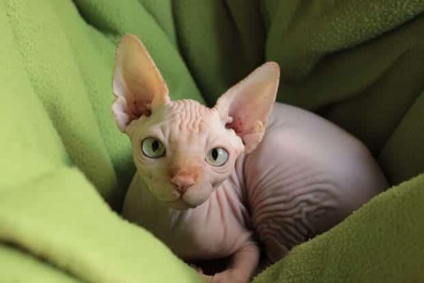 Gatos sem pelo - Características e cu