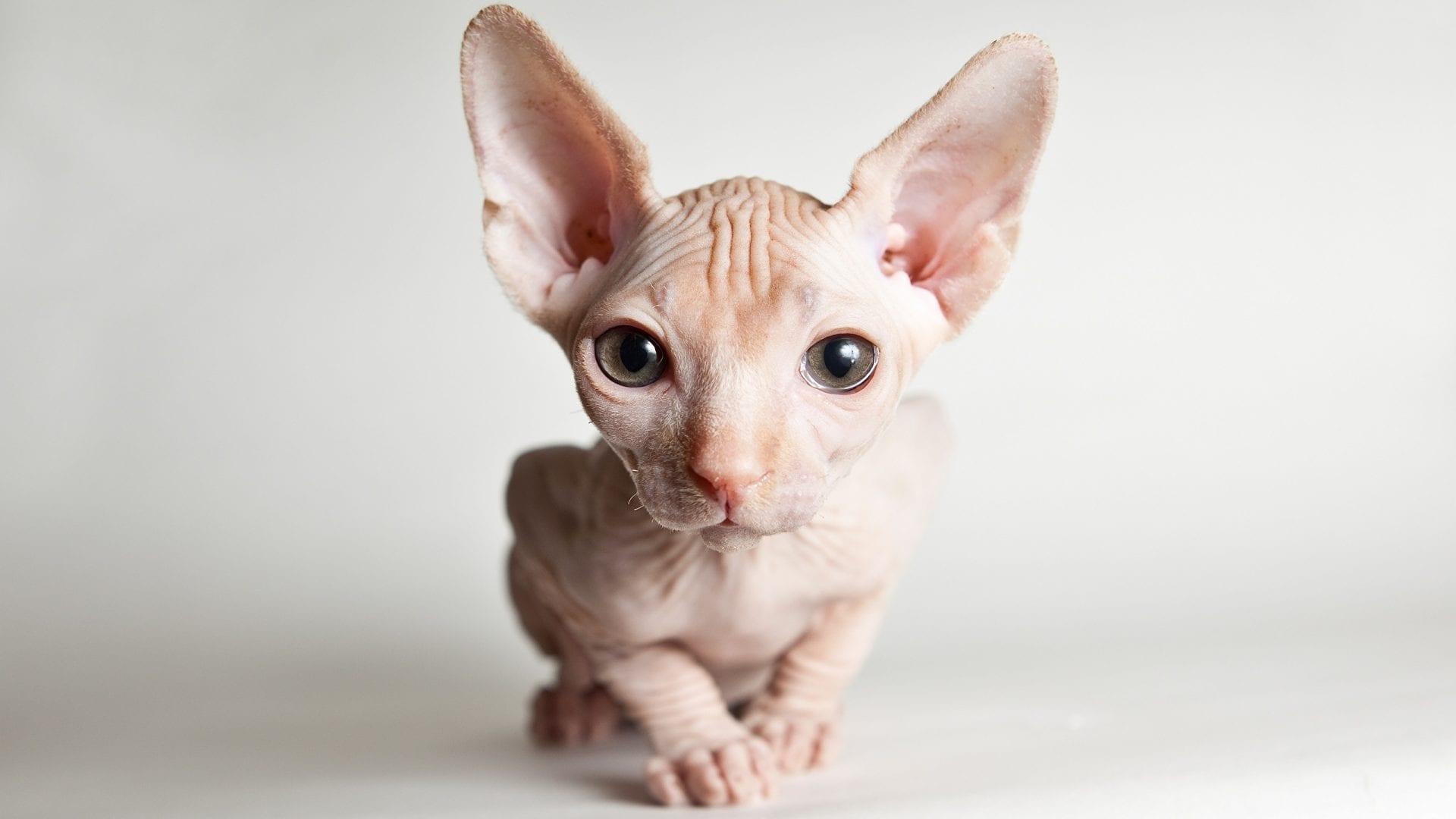 Gatos sem pelo, por que a raça é assim? Tudo sobre os Canadian Naked