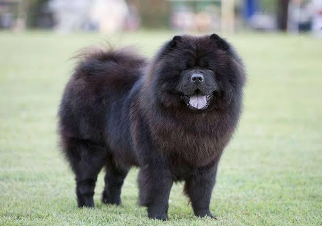 O famoso cachorro da língua azul, os Chows Chows são amigáveis e fofos
